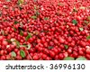 Abstract background from fresh cowberry. Close up. - stock photo