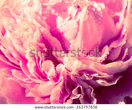 Abstract background of water drops on the petals of peony flower close-up, with pink and yellow toning warm and soft focus shifted. - stock photo