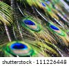 abstract background Peacock feathers - stock photo