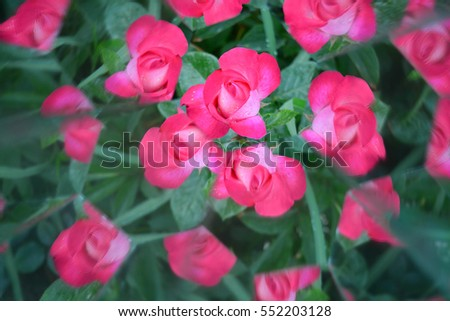 Abstract background, roses