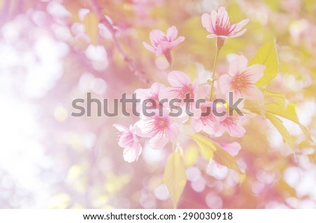 Abstract background soft focus of pink wild Himalayan, cherry blossom - stock photo