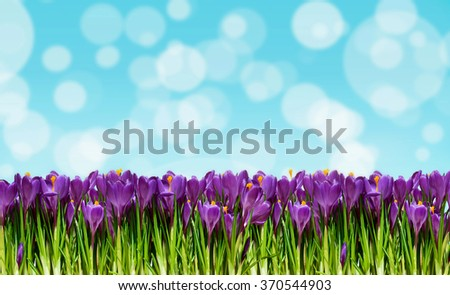 Abstract background with crocuses for greetings Happy Valentine or wedding in pastel colors with effect bokeh (March 8, February 14, Easter).