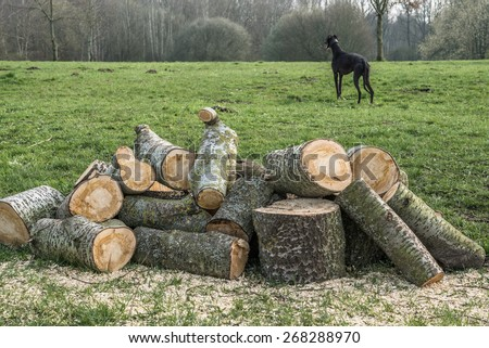 Abstract background with logged and sawed off tree saw dust Stack with firewood sawn off after winter storm on green grass meadow with copyspace for your text. Black greyhound dog in background - stock photo