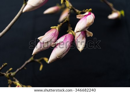 Abstract beautiful magnolia flowers on black copyspace background.  Large blossom buds of Magnoliaceae family blooming in springtime with pink petals, perfect for garden blogs and magazines - stock photo