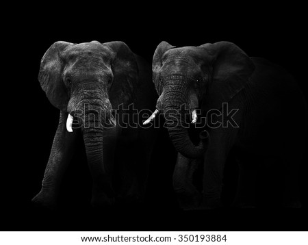 Abstract black and white image of two African elephant bulls. - stock photo