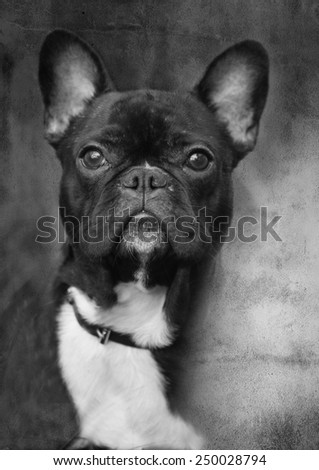 abstract black and white small dog portrait, grunge background  - stock photo