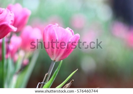 Abstract blur beautiful bright tulips in the garden with nature background. Use it for background a spring or love concept.