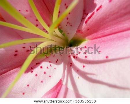 abstract - close up of pink lily - focusing on center