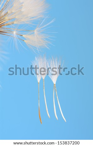 Abstract colorful dandelion seeds with shallow depth of field