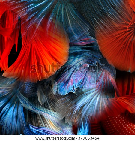abstract colorful fighting beta fish  - stock photo