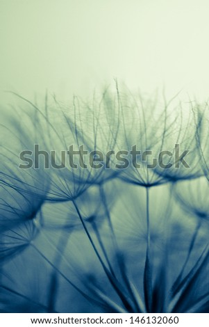 Abstract dandelion flower background, extreme closeup. Big dandelion on light bokeh background  - stock photo