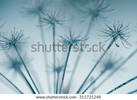 abstract dry flower in winter, blue color tone
