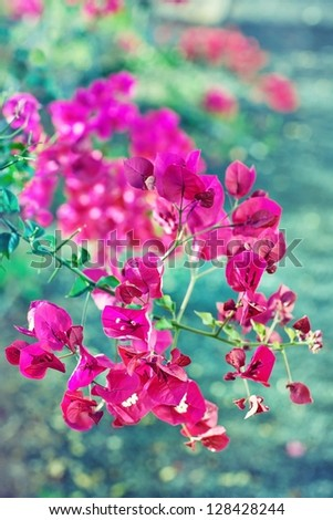 Abstract floral background .Pink bougainvillea. - stock photo