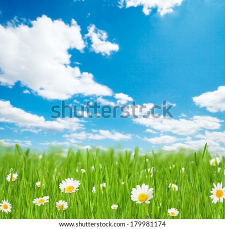 Abstract floral background with bunches of grass with blooming chamomiles. Blue sky on background with free space for text