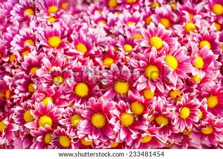 Abstract floral background with pink daisy flowers - stock photo