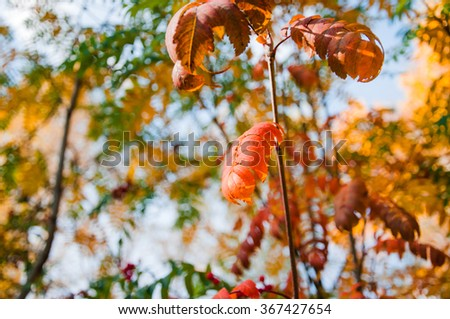 Abstract foliage image, rowan branch, autumn season, bright forest, blue sky - stock photo