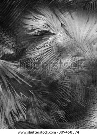 abstract grey background fighting fish