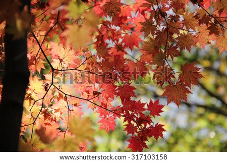 Abstract image of fall maple leaves with blurred background