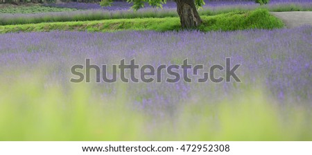 abstract landscape, lavender field view, Hokkaido Japan