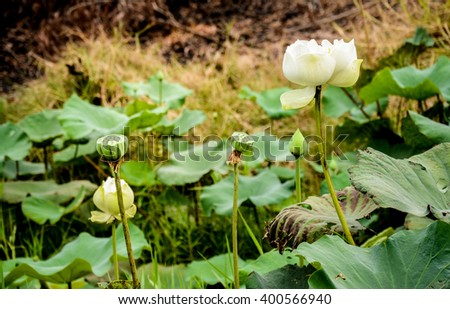 Abstract lotus flower textured background, retro style.Lotus pond.white water lily on the lake (Nymphaea alba) - stock photo