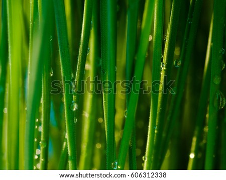 Abstract Macro Close-up of Mature Wheatgrass Details, Fresh wheat grass organic with drop dew growing in nature.