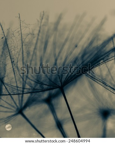 Abstract macro photo of plant seeds with water drops. Big dandelion seed  - stock photo