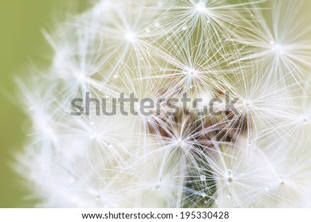 Abstract macro photo of white dandelion with water drops on green background, selective focus