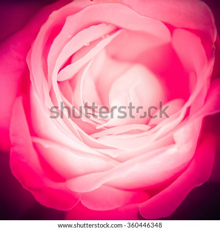Abstract macro shot of beautiful pink rose flower. Floral background with soft selective focus - stock photo