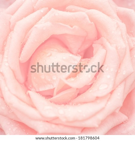 Abstract macro shot of beautiful pink rose flower with water drops. Floral background with soft selective focus, shallow depth of field - stock photo