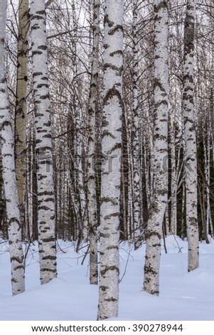 Abstract natural background of white trunks of birch close up in a birch forest with snow in winter