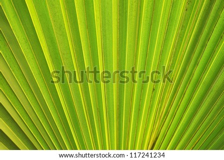 Abstract natural background pattern of the fanned structure of a fresh green palm leaf or frond