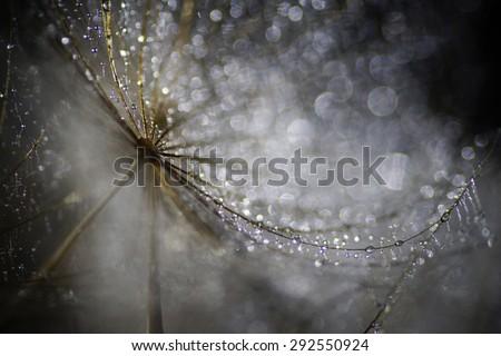 Abstract nature, wet Meadow Salsify macro, dandelion (goatsbeard)        - stock photo