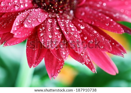 Abstract of a red Gerber daisy macro with water droplets on the petals.. Extreme shallow depth of field. - stock photo