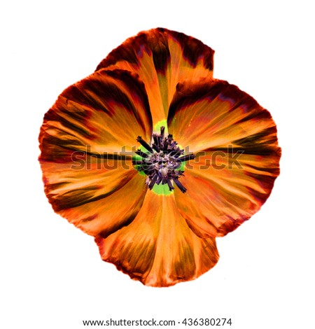 Abstract Orange poppy flower isolated on white background - stock photo