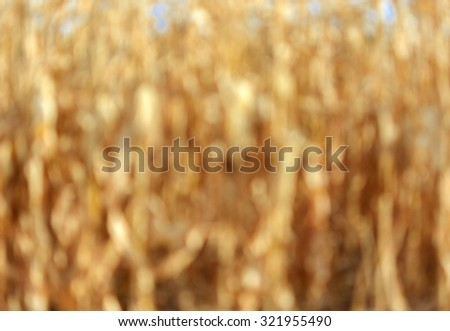 Abstract out of focus brown blurry background. golden field of corn. - stock photo