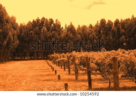 Abstract photograph taken at Wrights Bay Vineyard featuring grapevines and Eucalypts (Mt Benson, South Australia). - stock photo