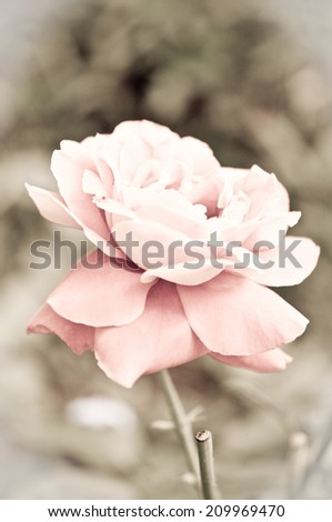 Abstract pink roses flower background/ Pink spring background  - stock photo