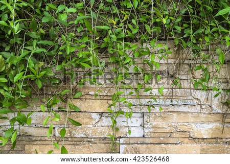 Abstract plant wall background, The Green creeper plant on grunge modern brick wall
