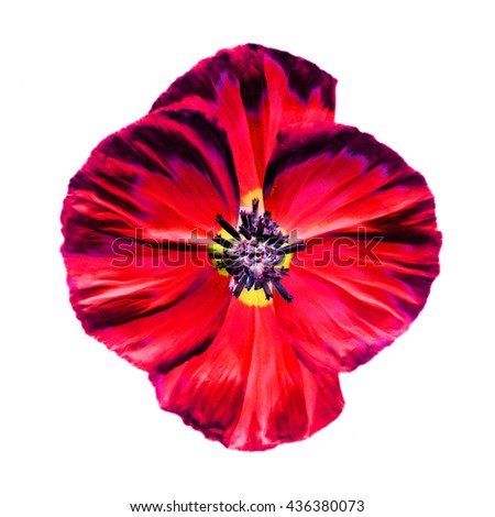 Abstract Red poppy flower isolated on white background