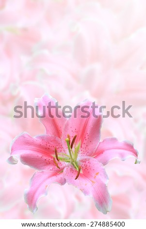 Abstract Spring pink lily flowers close up isolated on blur flower background. This has clipping path. - stock photo