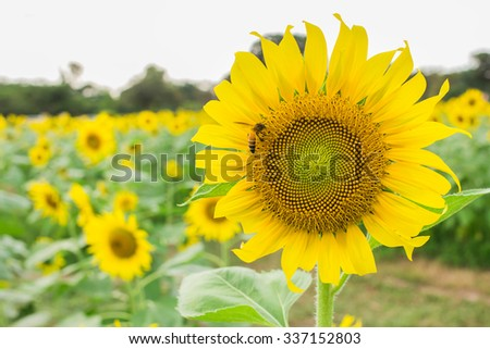abstract Sunflower and bee in nature
