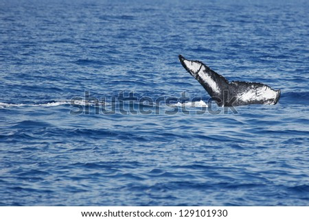 Abstract tail of Humpback Whale.Humpback Whale diving in to the sea next to coast of Hawaii and only tail have left outside of sea. - stock photo