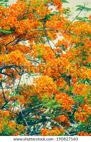 Abstract treetop of peacock flower in vintage color style, a tropical flower that blossom in summer - stock photo