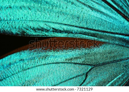 Abstract turquoise texture of shiny butterfly wings - morpho - stock photo