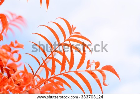 Abstract view of red leaves of rowan tree against a pale blue sky - stock photo