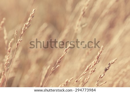 Abstract wheat field. Selective focus is used. Close-up showing texture and detail. - stock photo