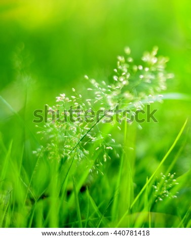 Abstract white pollen flower in green grass blur background,bright field with sunlight,soft focus,use for backdrop or web design.