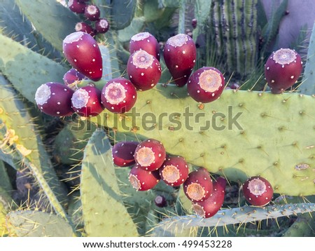 Abundance of ripe prickly pear fruits on Nopal cactus pads in Fall