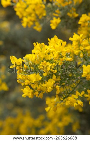 abundant flowering of Genista microphylla, broom species endemic to Gran Canaria, natural floral background - stock photo