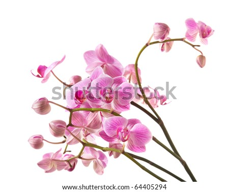 abundant flowering of pink stripy phalaenopsis orchid isolated on white